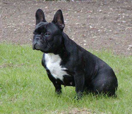 Female French Bulldog Named Mini